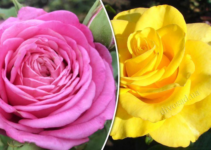 Роза  ШТАМБОВАЯ «БЬЕНВЕНЮ + КЕРИО, h=160 см, 2 года»