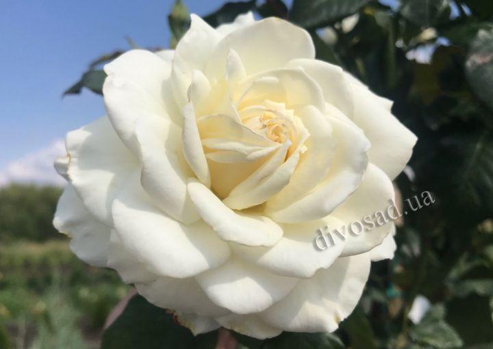 Роза  ШТАМБОВАЯ «БЬЯНКА, 2 года»