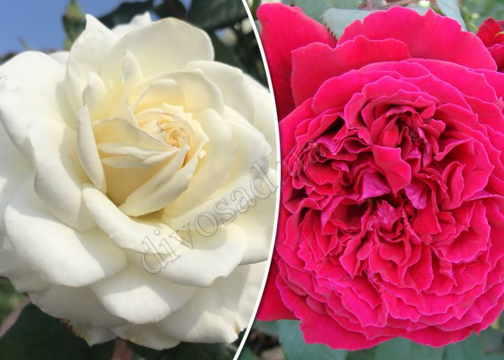 Роза  ШТАМБОВАЯ «БЬЯНКА+БОТЕРО, h=100 см, 2 года»