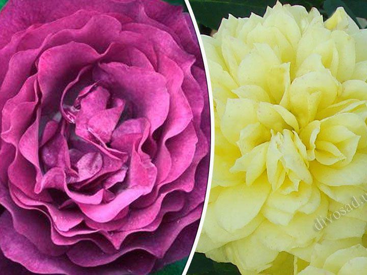 Роза  ШТАМБОВАЯ «БЛЮ ЭДЕН+ТАХИТИАН МУН, h=140 см, 2 года»