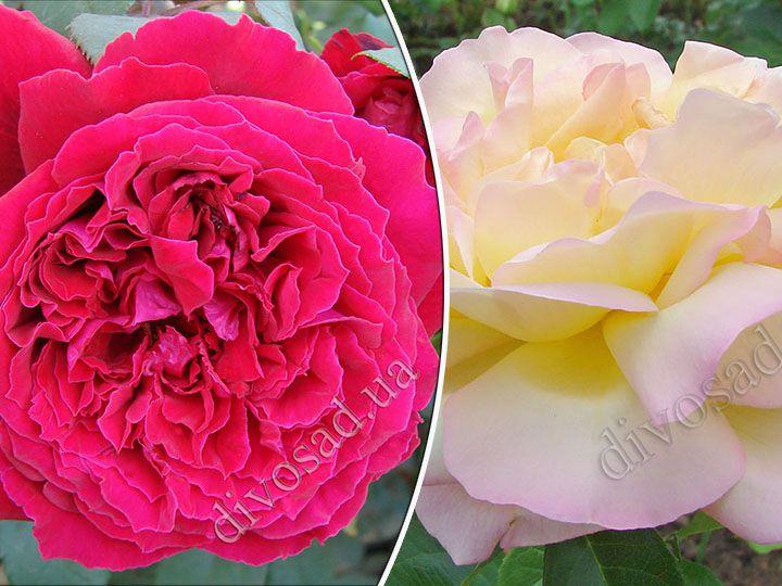 Роза  ШТАМБОВАЯ «БОТЕРО+ГЛОРИЯ ДЕЙ, h=140 см, 2 года»