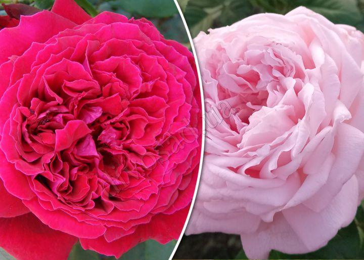 Роза  ШТАМБОВАЯ «БОТЕРО+МИРИАМ, h=150 см, 2 года»