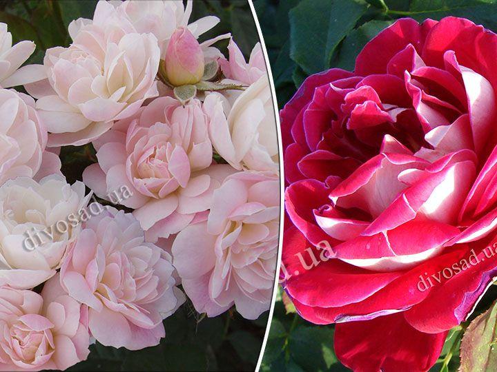 Роза  ШТАМБОВАЯ «БУКЕ ПАРФЕ+БЕЛЬ ДЕ СЕГОЗА, h=145-150 см, 2 года»