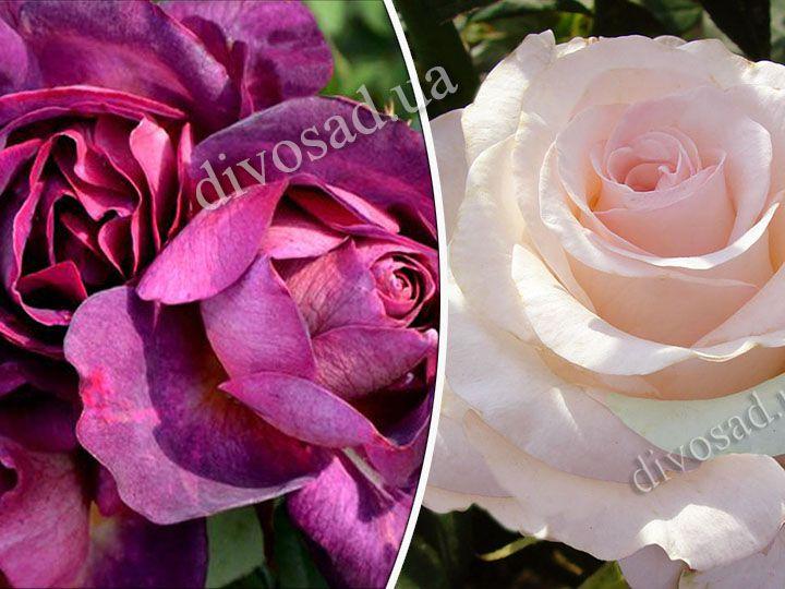 Роза  ШТАМБОВАЯ «ДЬЯБЛЕС ДЕ МЕР+СЕНЬОРИТА, h=150 см, 2 года»