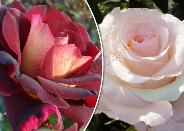 Роза  ШТАМБОВАЯ «ЭДДИ МИТЧЕЛЛ + СЕНЬОРИТА, h=150 см, 2 года»