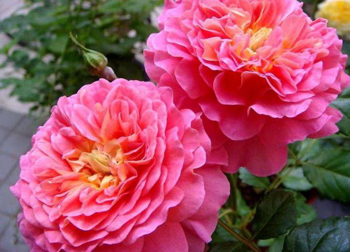 Роза  ШТАМБОВАЯ «КРИСТОФЕР МАРЛОУ, h=150 см, 2 года»