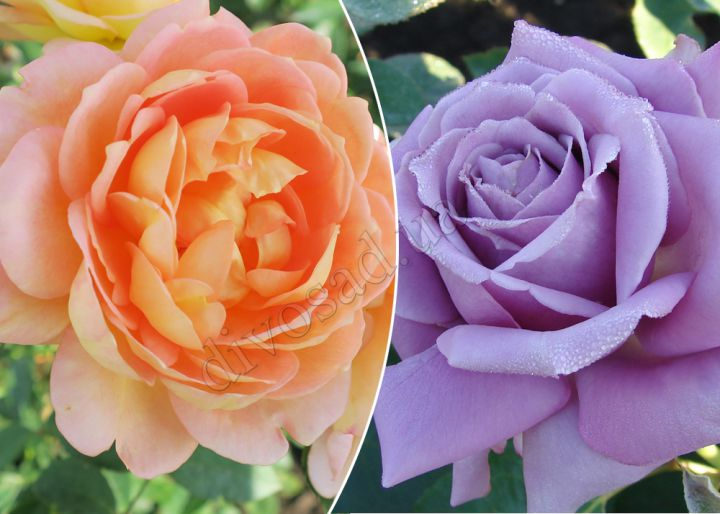 Роза  ШТАМБОВАЯ «ЛЕДИ ОФ ШАЛОТ+БЛЮ ПАРФЮМ, h=150 см, 2 года»