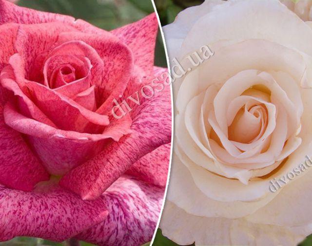 Роза  ШТАМБОВАЯ «МАРТИН ГИЙО+ПЬЕР КАРДЕН, h=140-150 см, 2 года»