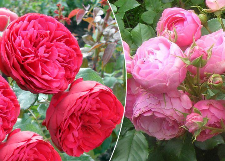 Роза  ШТАМБОВАЯ «ПОМПОНЕЛЛА+ПИАНО, h=160 см, 2 года»
