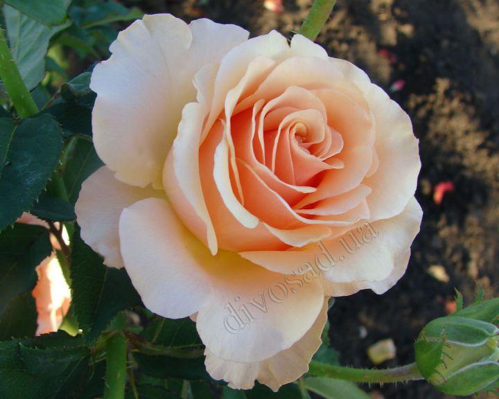 Роза  ШТАМБОВАЯ «ПРИМАДОННА»