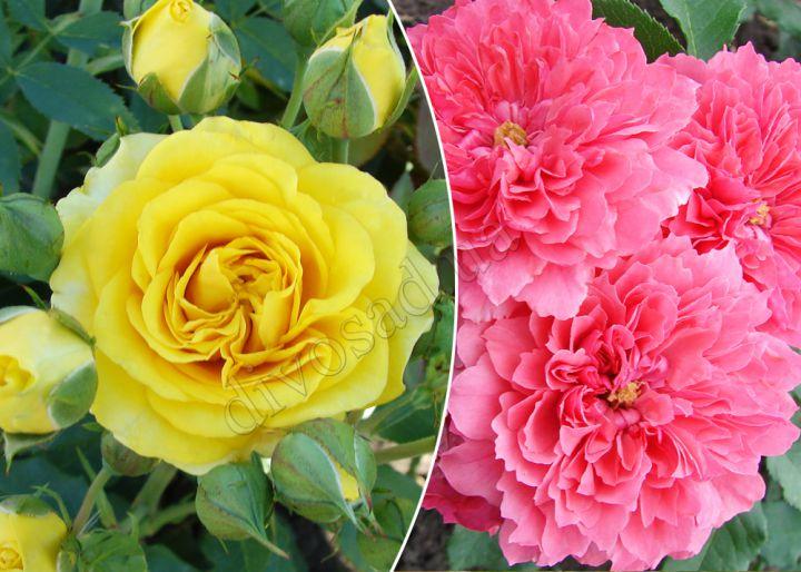 Роза  ШТАМБОВАЯ «САНСЕТ+РОЗАРИУМ ЮТЕРЗЕН, h=150 см, 2 года»