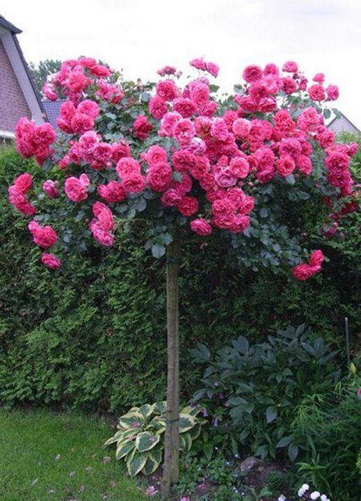 Роза  ШТАМБОВАЯ «МИКС, h=140-150см, II сорт»