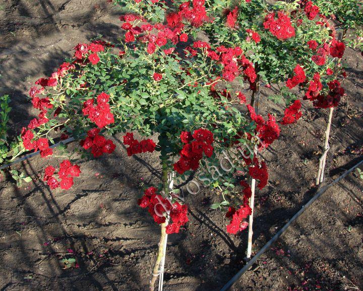 Роза  ШТАМБОВАЯ «МИКС, h=160-170 см»