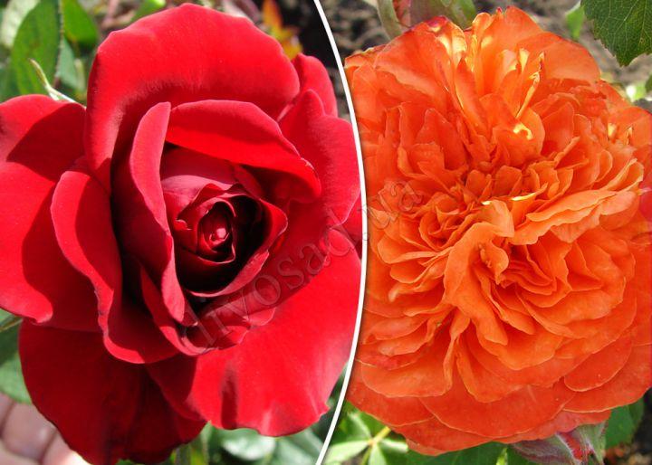 Роза  ШТАМБОВАЯ «СИМПАТИ+ЭМИЛЬЕН ГИЙО, h=150 см, 2 года»