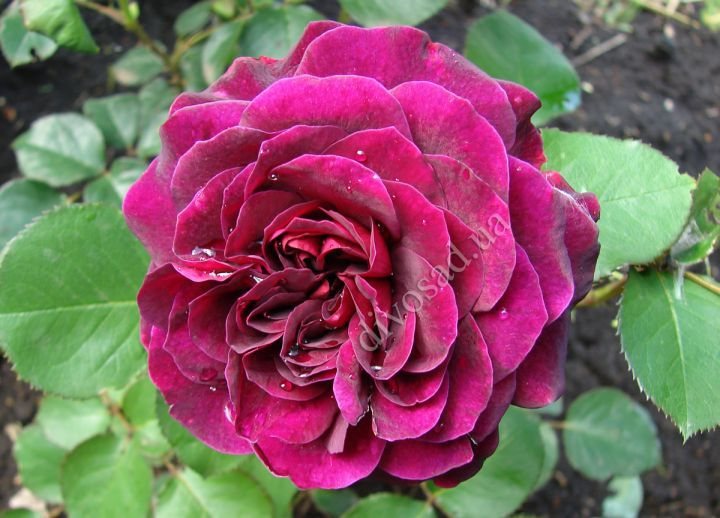 Роза  ШТАМБОВАЯ «ТРАДЕСКАНТ, 2 года»