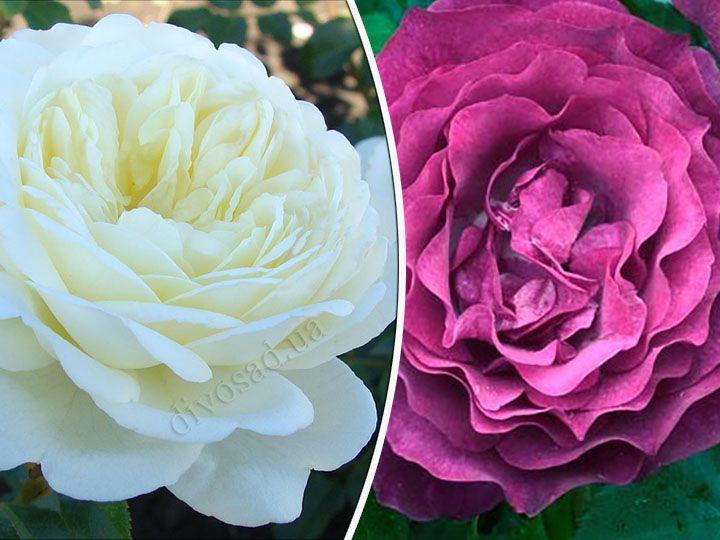 Роза  ШТАМБОВАЯ «ТРАНКВИЛИТИ+БЛЮ ЭДЕН, h=140-150 см, 2 года»