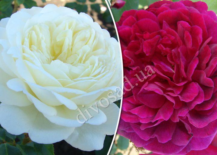 Роза  ШТАМБОВАЯ «ТРАНКВИЛИТИ+МАНСТЕД ВУД, h=165 см, 2 года»