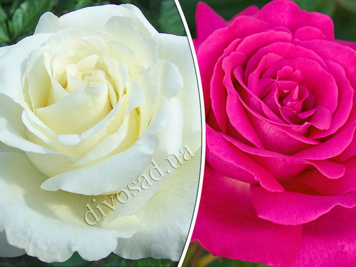 Роза  ШТАМБОВАЯ «ВАЙТ КРИСТМАС+ВЕЛАСКЕС, h=140 см, 2 года»