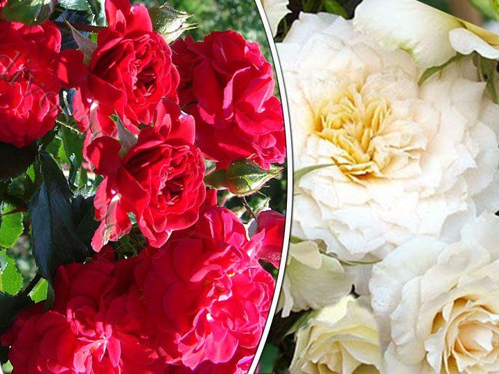 Роза  ШТАМБОВАЯ «ХЕЛЛОУ+НАДИН КСЕЛЛА-РИЧЧИ, h=150 см, 2 года»