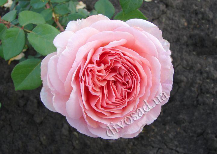 Английские парковые розы дэвида остина купить в киеве заказать цветы в чите с доставкой