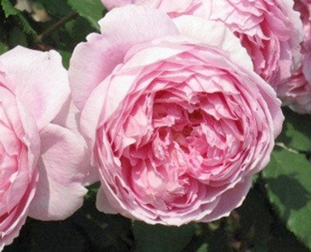 Роза  АНГЛИЙСКАЯ «АЛАН ТИТЧМАРШ»