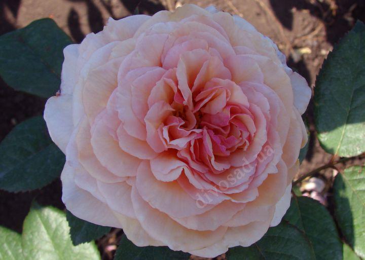 Роза  АНГЛИЙСКАЯ «ДЖЕЙМС ГЕЛВЕЙ»