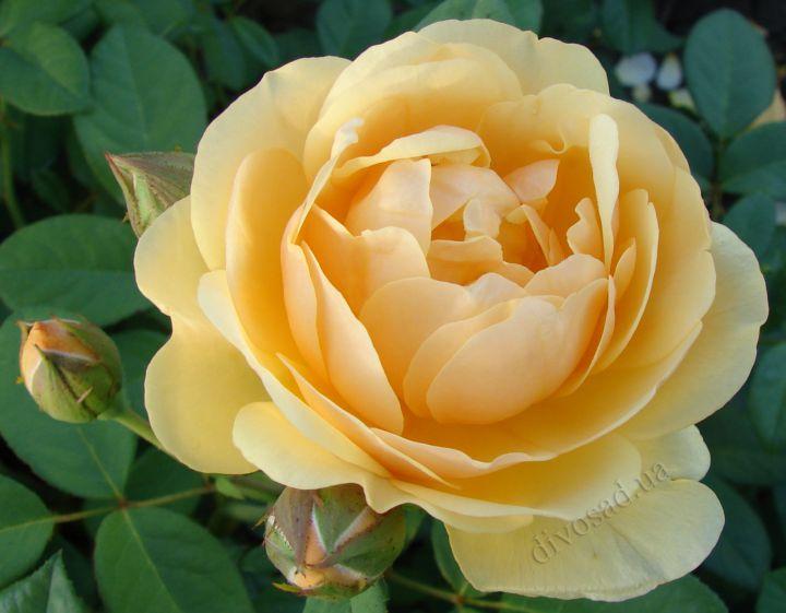 Роза  АНГЛИЙСКАЯ «ГРЕХАМ ТОМАС»