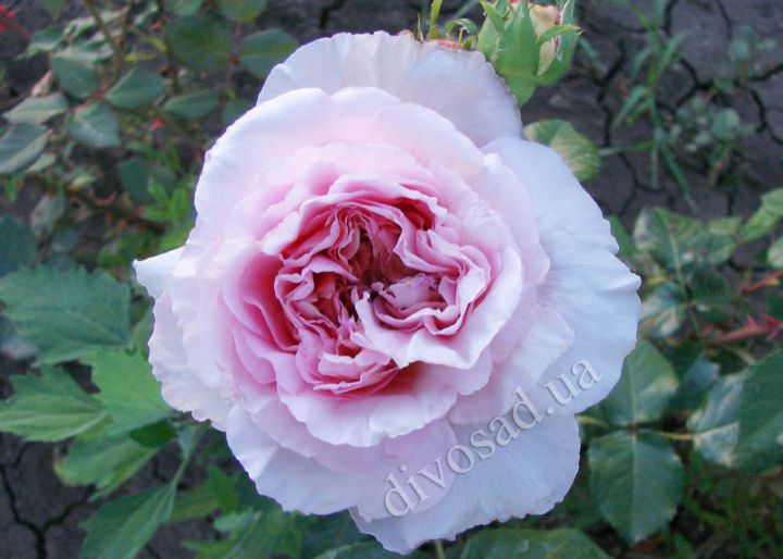 Роза  АНГЛИЙСКАЯ «МАРИЯ ТЕРЕЗИЯ»