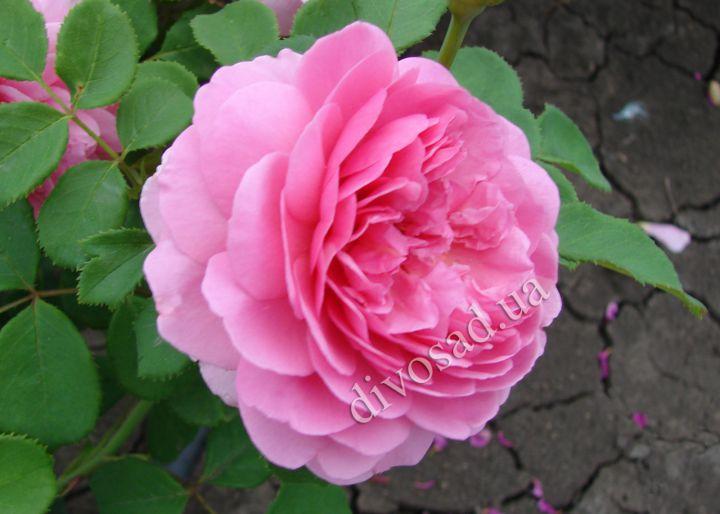 Роза  АНГЛИЙСКАЯ «МЭРИ РОУЗ»