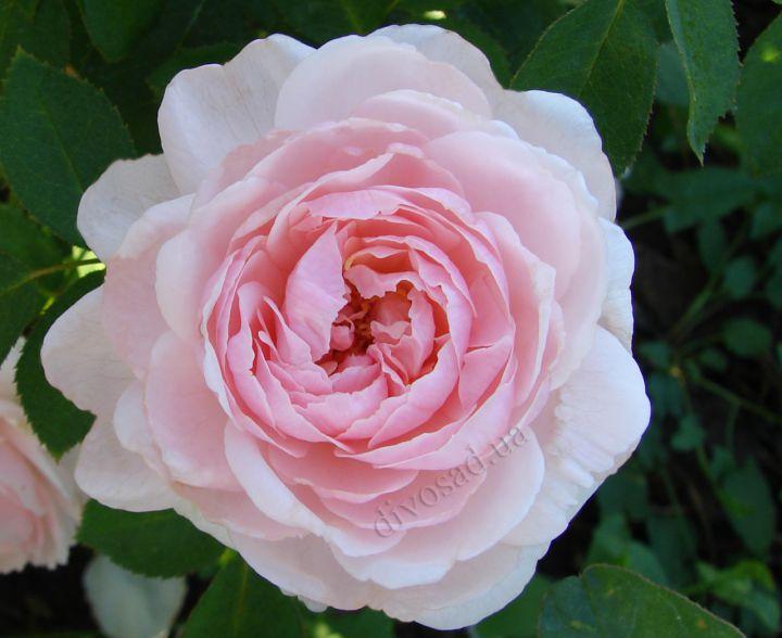 Роза  АНГЛИЙСКАЯ «МИСС АЛИССА»