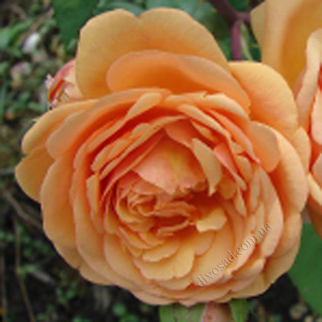 Роза  АНГЛИЙСКАЯ «ПЭТ ОСТИН»
