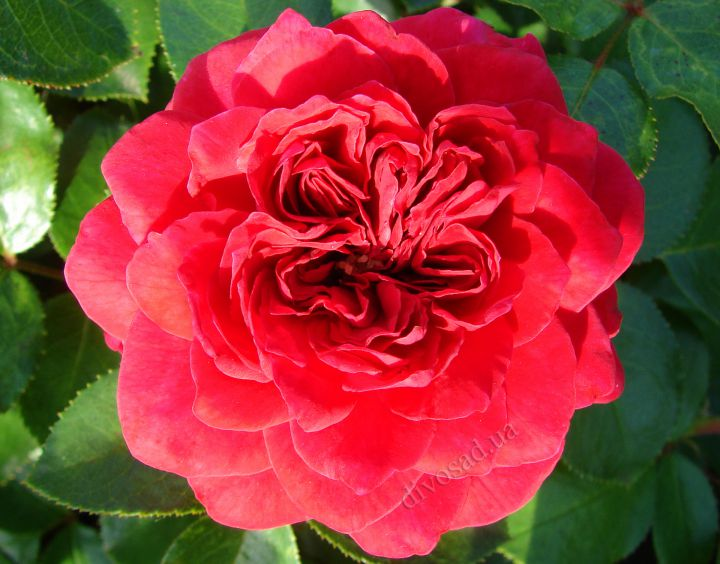 Роза  АНГЛИЙСКАЯ «РЕД ЛЕОНАРДО ДЕ ВИНЧИ»