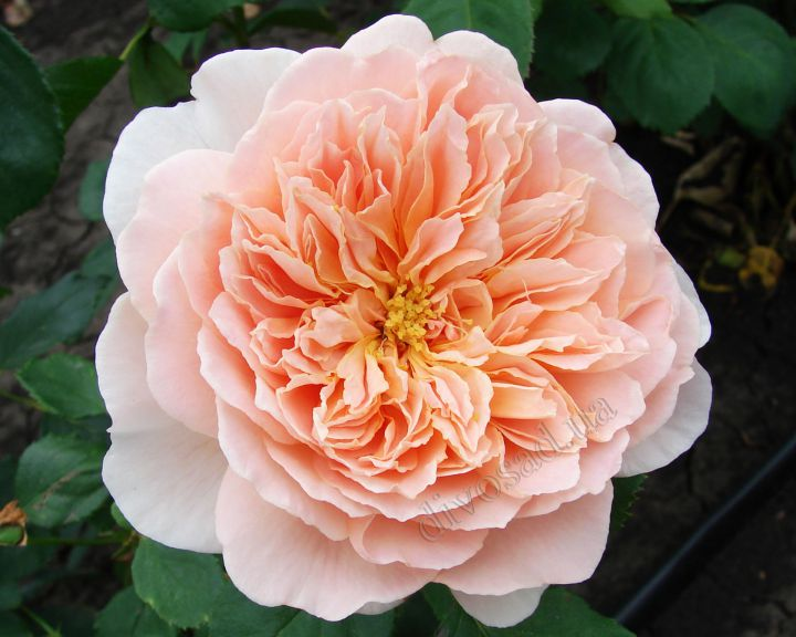 Роза  АНГЛИЙСКАЯ «ТИ КЛИППЕР»