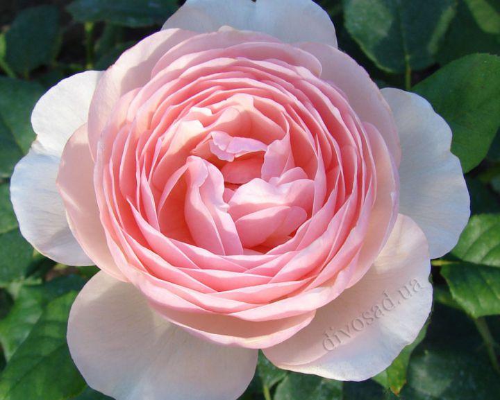 Роза  АНГЛИЙСКАЯ «ХЕРИТЕЙДЖ»