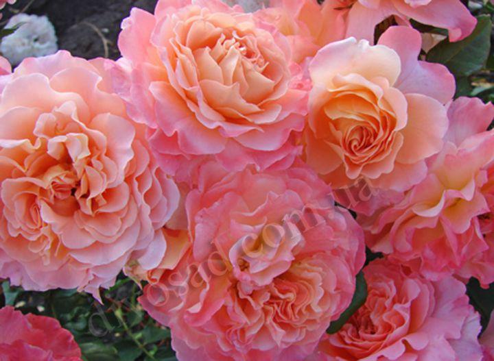 Роза ЧАЙНО-ГИБРИДНАЯ И ФЛОРИБУНДА «АВГУСТА ЛУИЗА»