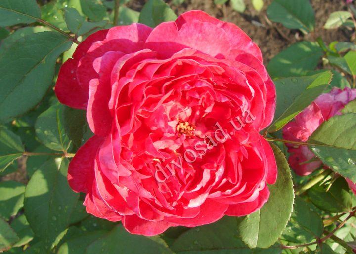 Роза  АНГЛИЙСКАЯ «БЕНДЖАМИН БРИТТЕН»