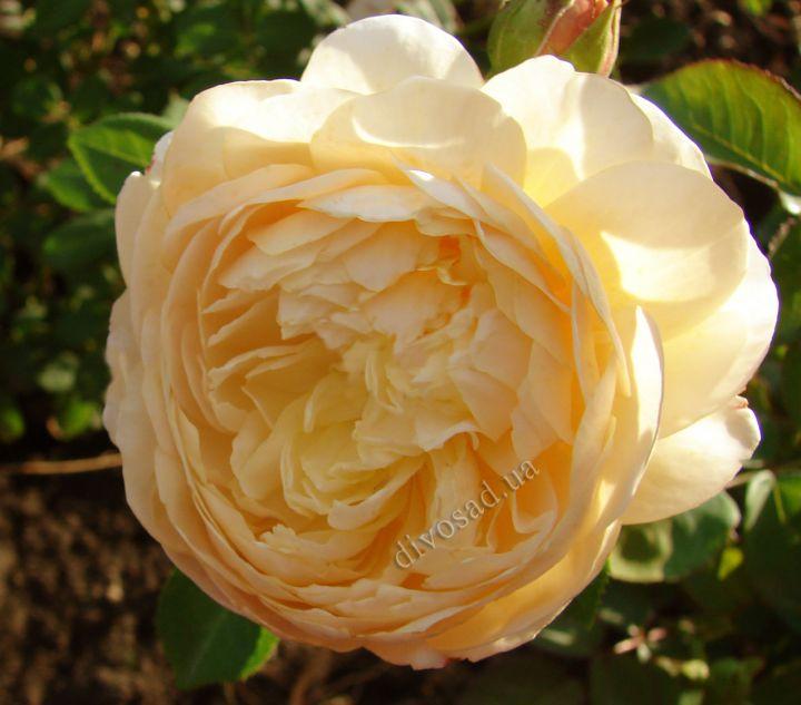Роза  АНГЛИЙСКАЯ «ЧАРЛЬЗ ДАРВИН»