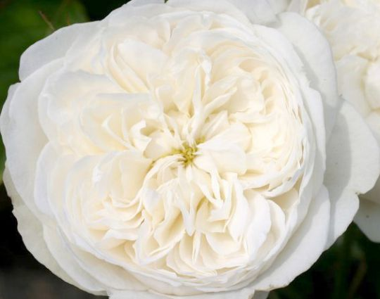 Роза  АНГЛИЙСКАЯ «ФЭЙР БЬЯНКА»