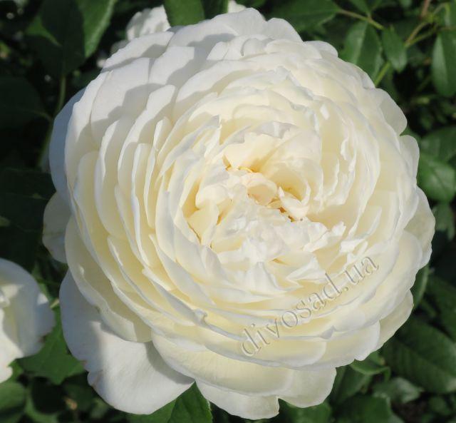 Роза  АНГЛИЙСКАЯ «КЛЕР ОСТИН»