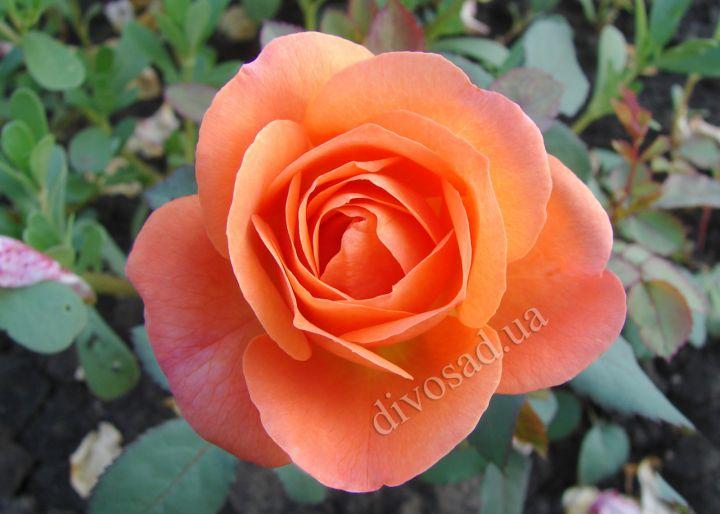 Роза  АНГЛИЙСКАЯ «ЛЕДИ ГАМИЛЬТОН»