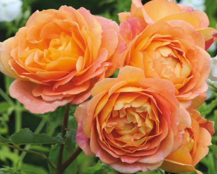 Роза  АНГЛИЙСКАЯ «ЛЕДИ ОФ ШАЛОТ»