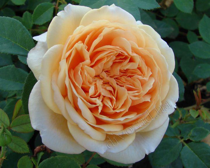 Роза  АНГЛИЙСКАЯ «ТЕСИНГ ДЖОРДЖИЯ»