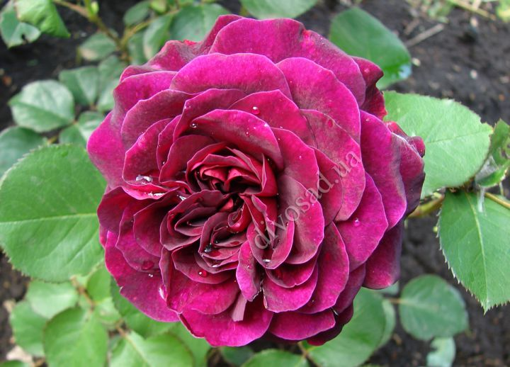 Роза  АНГЛИЙСКАЯ «ТРАДЕСКАНТ»