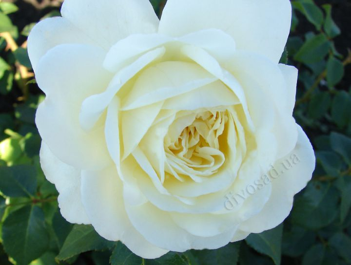 Роза  АНГЛИЙСКАЯ «ТРАНКВИЛИТИ»