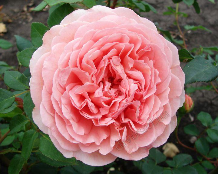 Роза  АНГЛИЙСКАЯ «ВИЛЬЯМ МОРРИС»