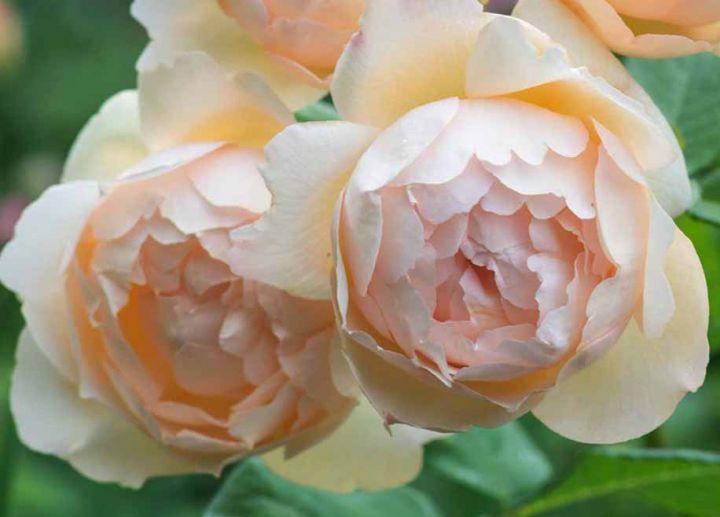 Роза  АНГЛИЙСКАЯ «ВОЛЛЕРТОН ОЛД ХОЛЛ»