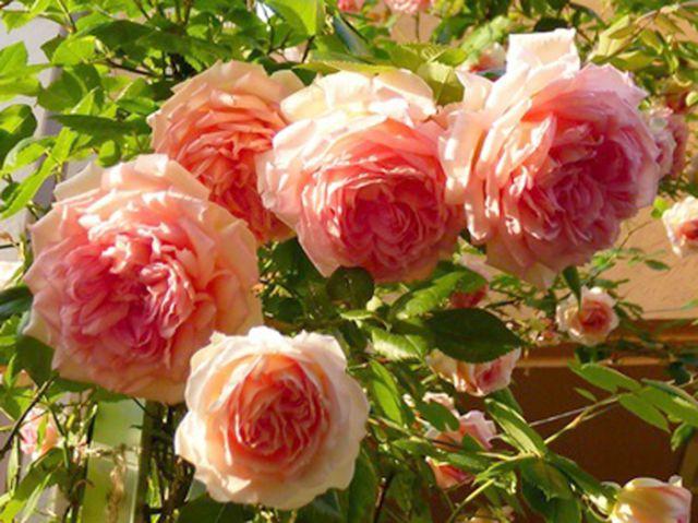 Роза  АНГЛИЙСКАЯ «ЖАНЕТ»