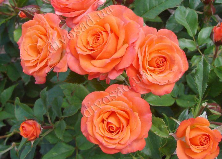 Роза  МИНИАТЮРНАЯ «АЛЛЕГРИЯ»