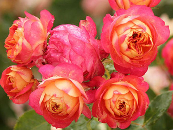 Роза  МИНИАТЮРНАЯ «БЕБИ РОМАНТИКА»