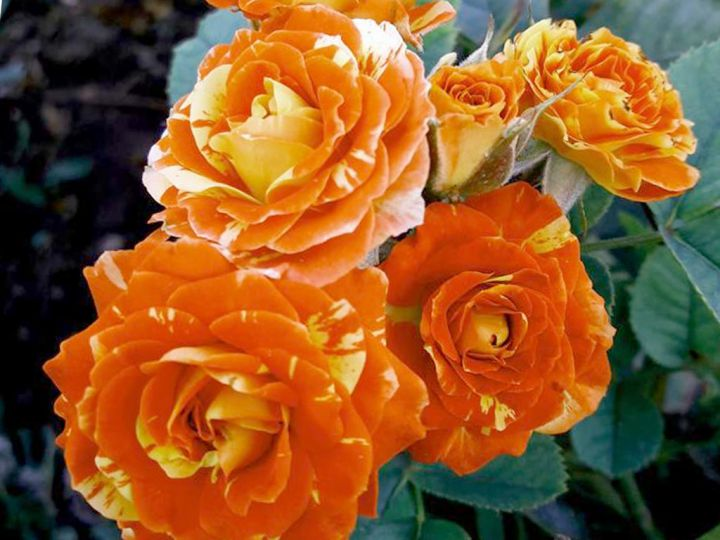 Роза  МИНИАТЮРНАЯ «ОРАНЖ СПЛЕШ»